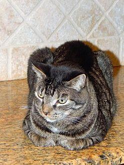 Domestic Shorthair Cat for adoption in Tampa, Florida - Happy , FKA Sugarplum (8813)