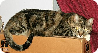 Polydactyl/Hemingway Cat for adoption in Santa Rosa, California - Sharon