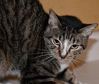 Domestic Shorthair Cat for adoption in Glendale, Arizona - Kosmo AAA Choo