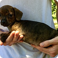 Chihuahua/Dachshund Mix Puppy for adoption in Kittery, Maine - Flower