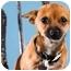 Photo 1 - Chihuahua Puppy for adoption in Portland, Oregon - Koko