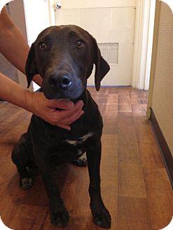 Labrador Retriever Mix Dog for adoption in Cumming, Georgia - Jagger