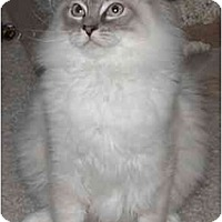 Adopt A Pet :: Tommy - Keizer, OR