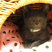 Adopt A Pet :: Fancy #2 - Lunenburg, MA