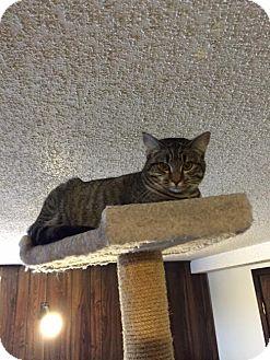 Domestic Shorthair Cat for adoption in Sedalia, Missouri - Olivia