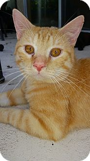 Domestic Shorthair Cat for adoption in Orlando-Kissimmee, Florida - Oliver