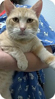 Domestic Shorthair Cat for adoption in Westminster, California - Corbin
