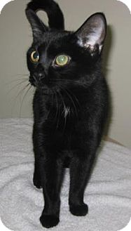 Domestic Shorthair Cat for adoption in Gary, Indiana - Harley