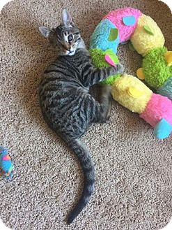 Domestic Shorthair Kitten for adoption in Indianapolis, Indiana - Prim