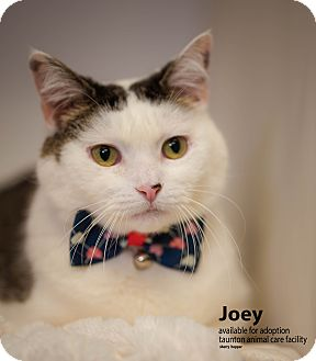 Domestic Shorthair Cat for adoption in Brockton, Massachusetts - Joey