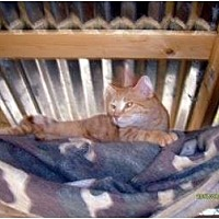 Domestic Mediumhair Cat for adoption in Winnsboro, South Carolina - Micah