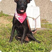 Adopt A Pet :: Phoebe - Castro Valley, CA