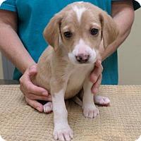 Adopt A Pet :: Rockin' Cher - Potomac, MD