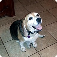 Beagle Dog for adoption in Mansfield, Texas - Henry