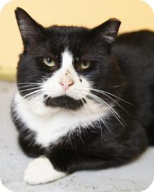 Domestic Shorthair Cat for adoption in Medford, Massachusetts - Niles
