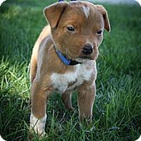 Adopt A Pet :: BoJangles - Broomfield, CO