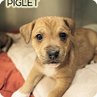 Adopt A Pet :: Piglet - New York, NY
