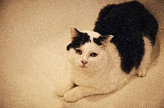 Domestic Shorthair Cat for adoption in Walnut Creek, California - Snoopy