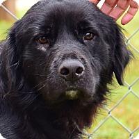 Adopt A Pet :: Mulligan - New Canaan, CT