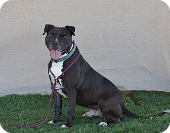 American Pit Bull Terrier/Pit Bull Terrier Mix Dog for adoption in Palm Springs, California - Buster