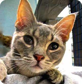 Abyssinian Kitten for adoption in Davis, California - Grayson