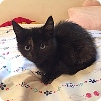 American Shorthair Kitten for adoption in SUSSEX, New Jersey - Elly (100% AdorableNess!)