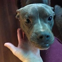 Adopt A Pet :: Boxer Pitbull Mix Sal - New Hartford, NY