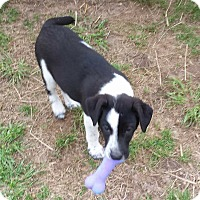 Labrador Retriever/Border Collie Mix Puppy for adoption in Harrisburg, Pennsylvania - Chuck