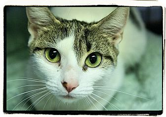 Domestic Shorthair Cat for adoption in Elmwood Park, New Jersey - Tori