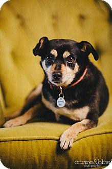 Dachshund Mix Dog for adoption in Portland, Oregon - Gordo