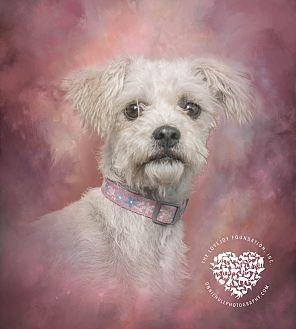 Maltese/Poodle (Standard) Mix Dog for adoption in Inglewood, California - Alda