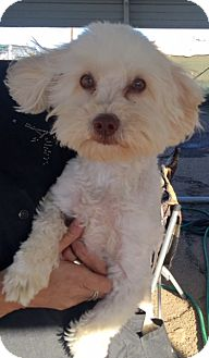 Bichon Frise Dog for adoption in West Los Angeles, California - Morrison