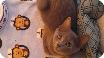 Domestic Shorthair Kitten for adoption in Waldorf, Maryland - Scooby