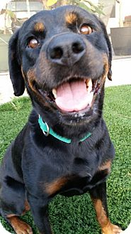Rottweiler Dog for adoption in Seffner, Florida - Honey