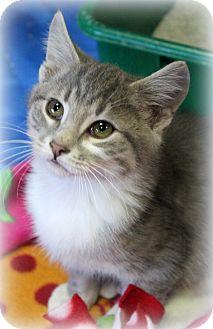 Domestic Shorthair Kitten for adoption in Millersville, Maryland - Mason