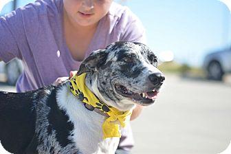 Catahoula Leopard Dog/Australian Shepherd Mix Dog for adoption in White Settlement, Texas - Jersey