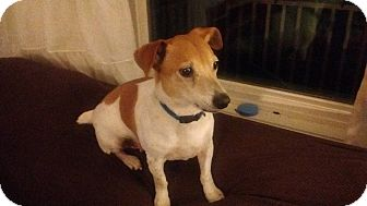 Jack Russell Terrier Dog for adoption in Greensboro, Maryland - Bullett