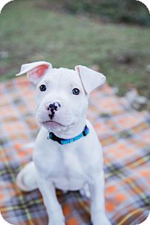 Pit Bull Terrier Mix Puppy for adoption in Rochester, New York - Charlie