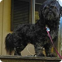 Adopt A Pet :: Chewie - Washington, DC