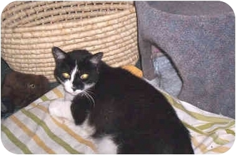 Domestic Shorthair Cat for adoption in Quincy, Massachusetts - Kittie