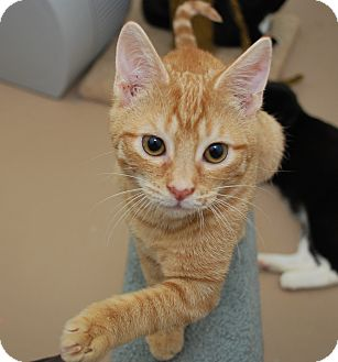 Domestic Shorthair Kitten for adoption in Trevose, Pennsylvania - Orange Tabby Baby