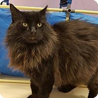 Turkish Angora Cat for adoption in Westbury, New York - Reeses'
