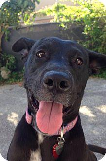 Labrador Retriever/American Bulldog Mix Dog for adoption in Ocean Ridge, Florida - Bella
