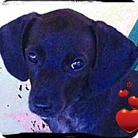 Adopt A Pet :: Louis - Bastrop, TX