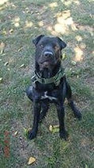 Shar Pei Mix Dog for adoption in Southampton, New York - ODIN AKA OTIS