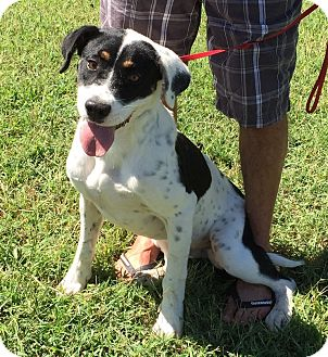 Border Collie/Pointer Mix Dog for adoption in Albany, New York - Rubicon