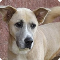 Akita Mix Dog for adoption in Oxford, Mississippi - Beth