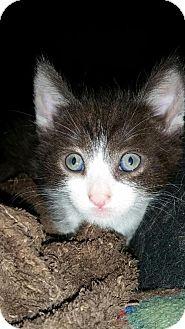 Domestic Shorthair Kitten for adoption in Los Angeles, California - Leo