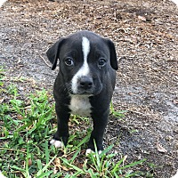 Adopt A Pet :: Pebbles - Ft. Myers, FL