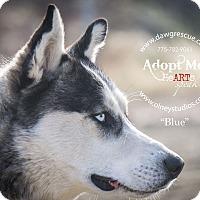 Adopt A Pet :: Blue - Gardnerville, NV